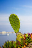 Cactus on the Corsican coast Royalty Free Stock Photography