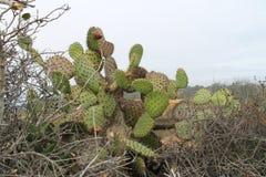 Cactus costiero del fico d'India (littoralis dell'opunzia) Fotografia Stock Libera da Diritti