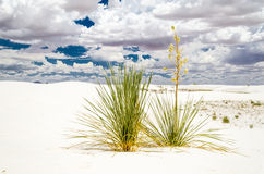 Cactus Couple. This is a shot of 2 Yucca Cactus surviving at White Sands National Monument, New Mexico Stock Photography