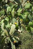 Cactus covered hillside, yellow flowers, dry ground, outdoors Royalty Free Stock Photo