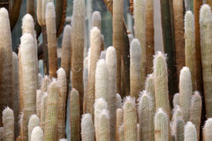 Cactus is covered with yellow fluff Stock Photography