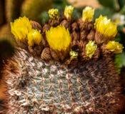 Cactus crescente Immagine Stock