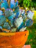 Cactus in Clay Pot stock photos