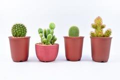 Cactus, cuatro diversas variedades de cactus en potes en el fondo blanco imágenes de archivo libres de regalías