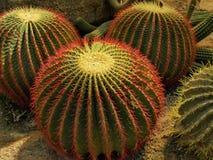 Cactus d'épine photographie stock