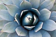 Cactus d'agave Photo libre de droits