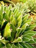 Cactus 4 d'agave : Usine de désert - vert et blanc Images libres de droits