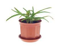 Cactus d'aloès Photos libres de droits