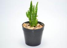Cactus d'arbre Images stock