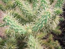 Cactus d'Arizonian Cholla Image stock