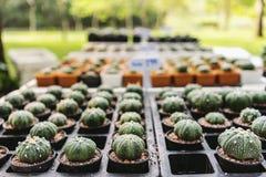 Cactus d'Astrophytum Photographie stock libre de droits