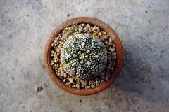 Cactus d'Astrophytum Image libre de droits