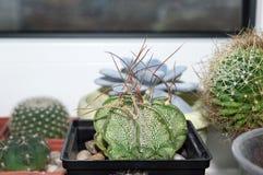 Cactus d'Astrophytum avec les épines sinueuses Photo libre de droits