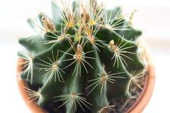 Cactus d'avanguardia sul davanzale della finestra, fine sul colpo Immagini Stock