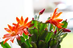 Cactus d'avanguardia sul davanzale della finestra, fine sul colpo Immagine Stock Libera da Diritti