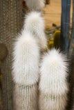 Cactus d'Espostoa photos libres de droits