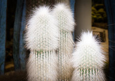 Cactus d'Espostoa photo stock