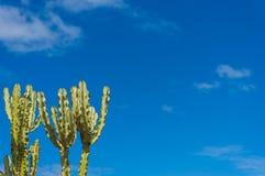 Cactus d'euphorbe avec l'espace de ciel bleu et de copie Photographie stock