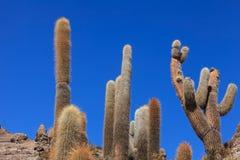 Cactus d'Incahuasi Photos libres de droits