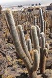 Cactus d'Incahuasi Images libres de droits