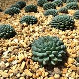 Cactus, dôme de fleur Photos libres de droits
