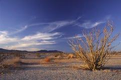 Cactus d'Ocotillo dans le désert de Californie photographie stock libre de droits