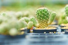 Cactus d'opuntia dans le domaine vert de cactus, usine de désert, usine épineuse, usine succulente Photo libre de droits