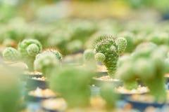Cactus d'opuntia dans le domaine vert de cactus, usine de désert, usine épineuse, usine succulente Images stock