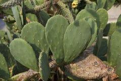 Cactus d'opuntia dans un parterre photographie stock libre de droits