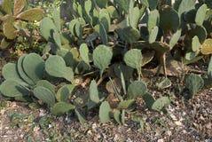 Cactus d'opuntia dans un parterre images libres de droits