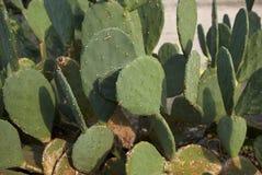 Cactus d'opuntia dans un parterre photo stock