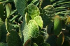 Cactus d'opuntia et un rayon de lumière du soleil Photographie stock libre de droits