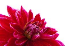 Cactus Dahlia Stock Image