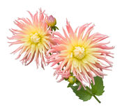 Cactus Dahlia Royalty Free Stock Photo