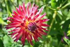 Cactus Dahlia Bénazet introduced in 2017 Royalty Free Stock Photos