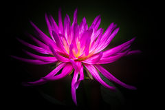 Cactus Dahlia Flower Fuchsia Royalty Free Stock Photography