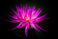 Cactus Dahlia Flower Fuchsia Royalty Free Stock Photography