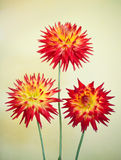 Cactus Dahlia - Karma Bon Bini Royalty Free Stock Photography