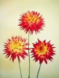 Cactus Dahlia - Karma Bon Bini Royalty Free Stock Photography