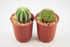 Cactus dans des bacs Image libre de droits