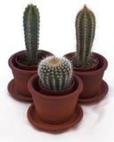 Cactus dans des bacs Photo stock