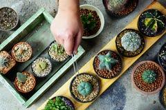 Cactus dans des bacs Photos libres de droits