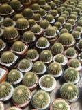 Cactus dans des pots/cactus de pot/cactus/Thorn Cactus Images stock