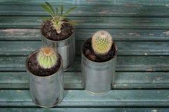Cactus dans des pots de boîtes Photo libre de droits