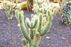 Cactus dans l'aménagement de désert Photographie stock
