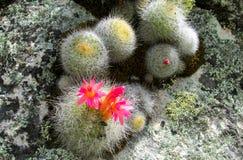 Cactus dans la fleur Photo libre de droits