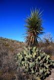 Cactus dans la grande courbure le Texas Photographie stock