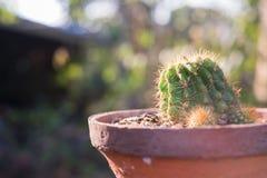 Cactus dans la lumière naturelle de pot Images libres de droits