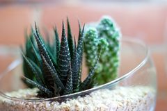 Cactus dans la mini-serre avec le mur de briques à l'arrière-plan Photo stock