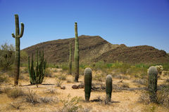 Cactus dans la pipe d'organe, Arizona, Etats-Unis images stock
